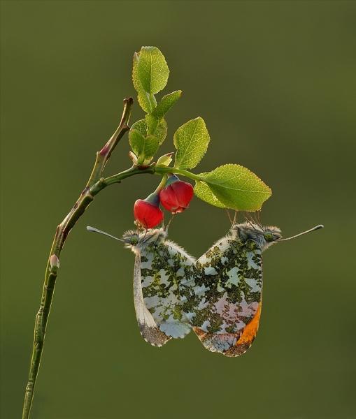 Orangetips mating-2