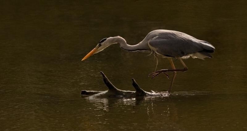 Adult_Grey_Heron_Fishing