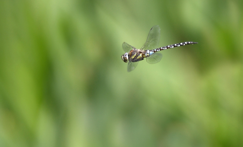 Dragonfly_in_Flight