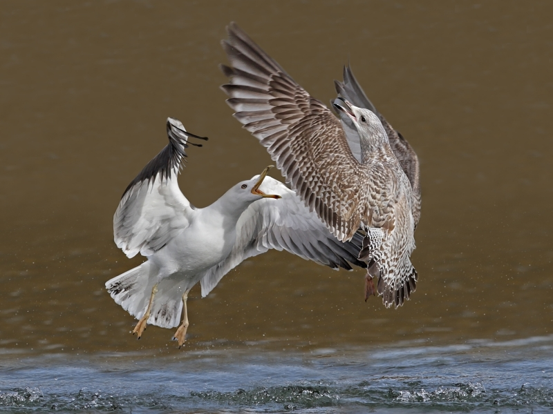 Gulls_fighting