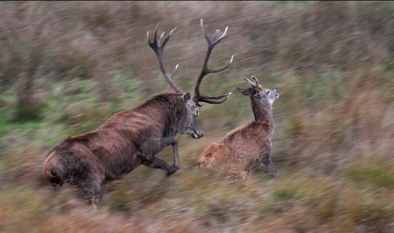 Stag_attacking_juvenile