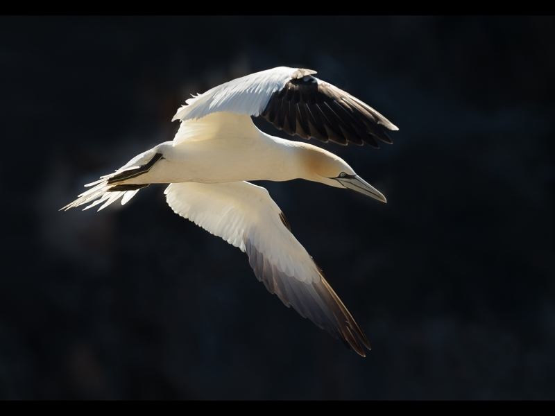 Gannet In Flight – 19 points