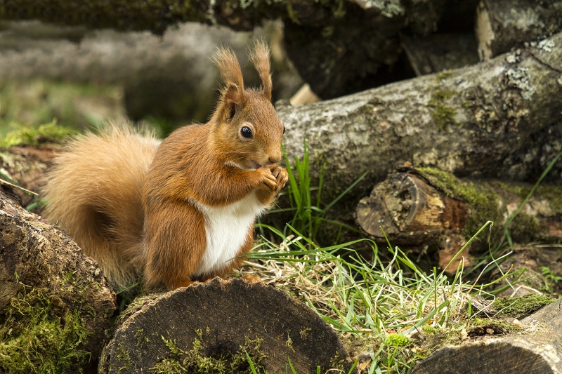 Red Squirrel Print 1 – 18 points