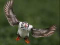Puffin with sand eels – WINNER