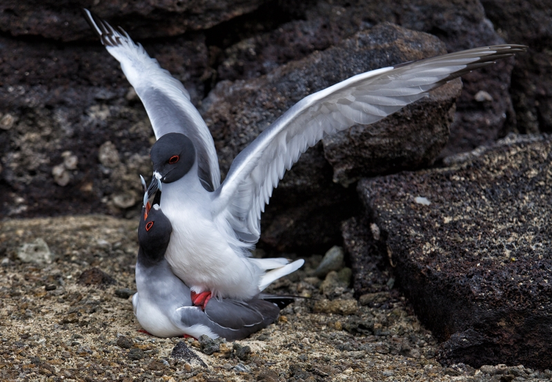 Swallow tailed gulls mating
