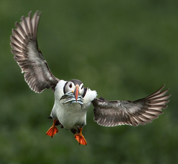 Puffin_with_sandeels_
