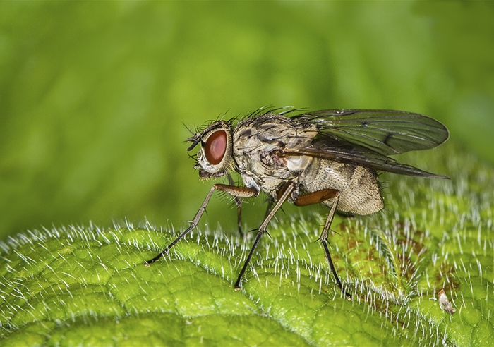 037 Tachinid Fly