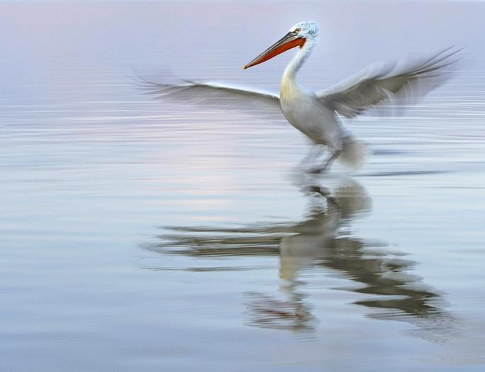 039 Dalmation Pelican Landing