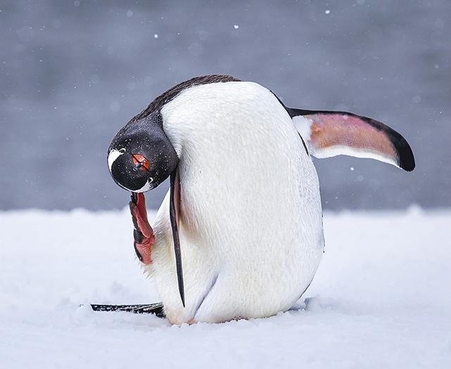 042 Gentoo penguin itch PDI