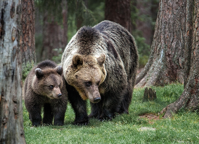 043 Eurasian brown bear and cub in habitat