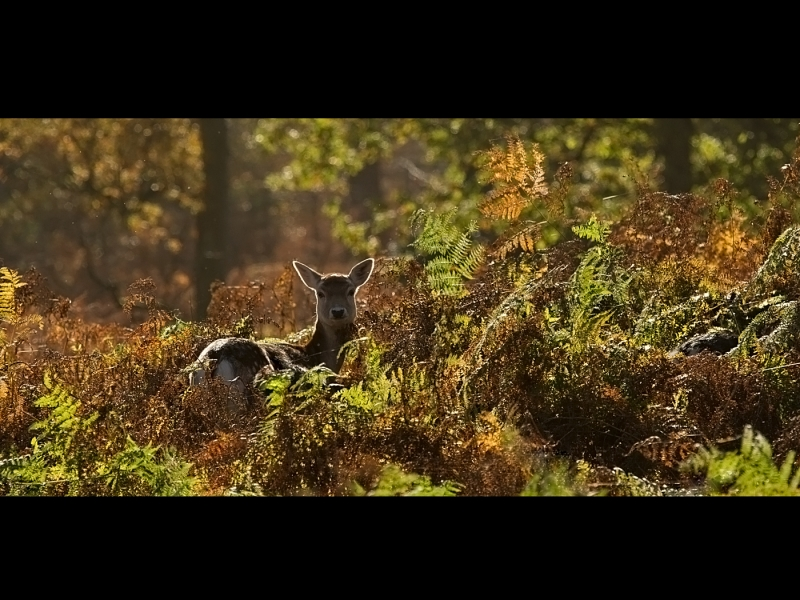 Fallow_Deer_in_Autumn_Woodland