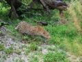 Leopard-Stalking-Botswana