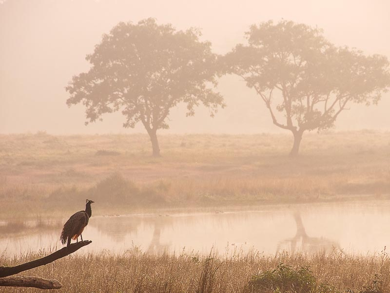 Early Morning, Kanha