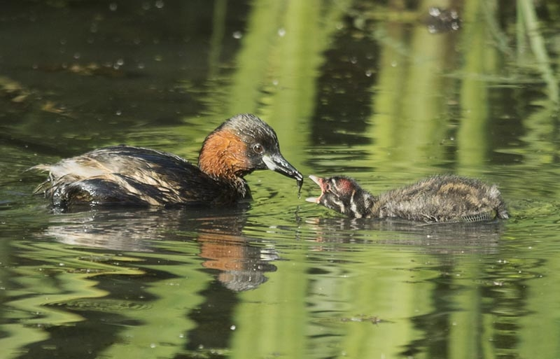 Little Grebe Feeding chick