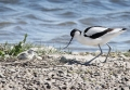 Avocet at nest with chick