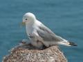 Kittiwake on Nest