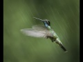 Magnificent-hummingbird-in-the-rain.119