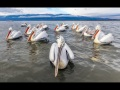 Pelican-Pod-Greece.119
