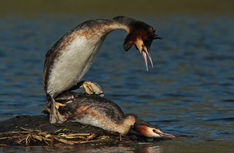 Greatcrested_grebes_mating