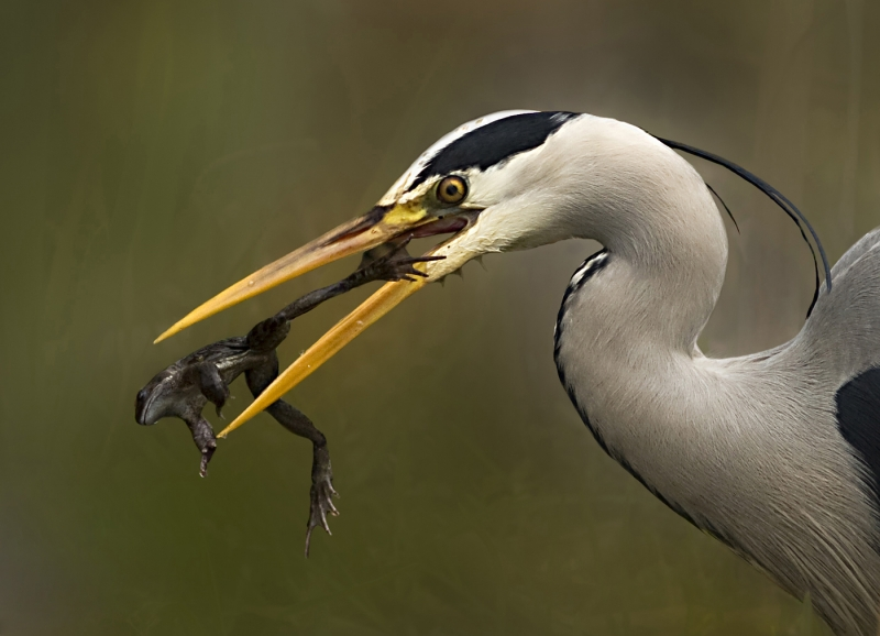 Grey_Heron_with_Escaping_Frog