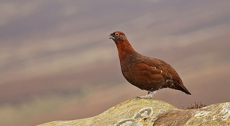 Red_Grouse_Calling