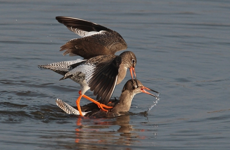 Redshank_attacking_rival