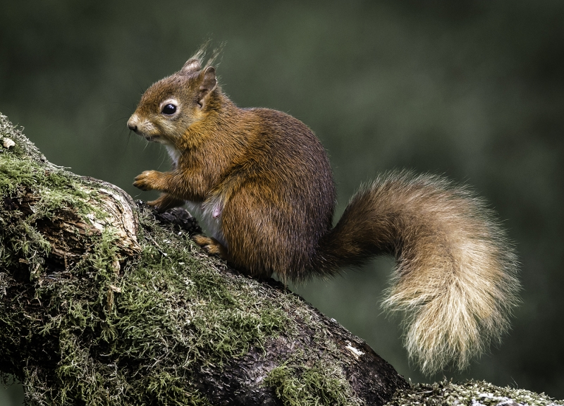 female_red_squirrel