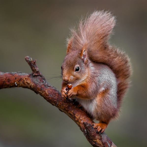 Red squirrel study 2