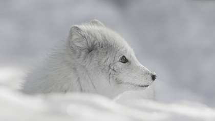 Arctic_fox - Mike Lown_18
