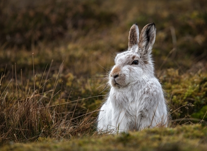 Mountain_Hare_compromised_by_mild_weather - Rob Hockney_19
