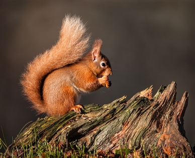 Red_Squirrel_eating_hazelnut - Rob Hockney_18