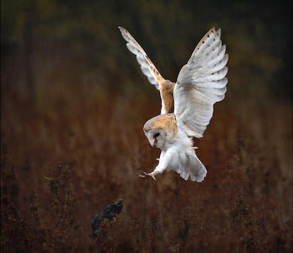 Barn_Owl_landing_pdi