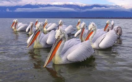 Pelican_pod__Lake_Kerkini_pdi