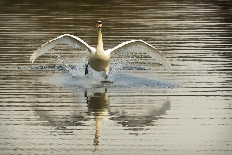 Mute Swan Landing.jpg