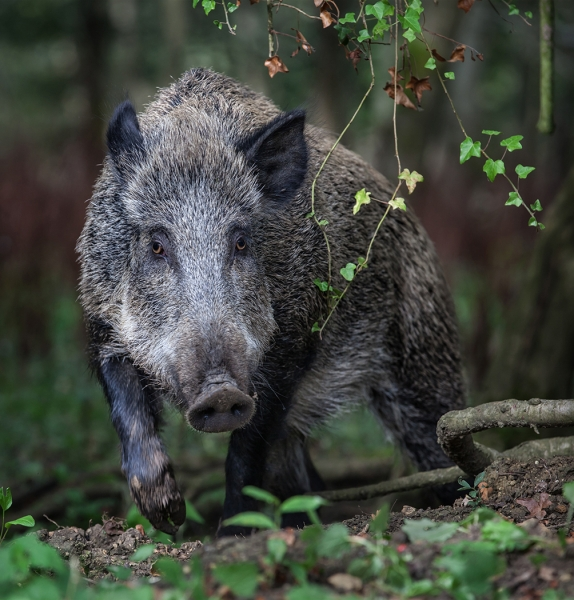 Wild boar sow in Forest of Dean.jpg