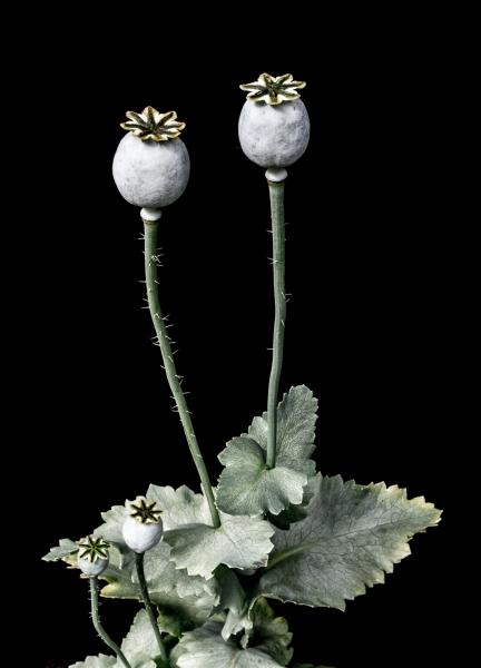 poppy pods.jpg