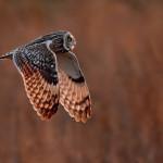 Short eared owl by Paul Matthews - Best advanced PDI, 2nd PDI Competition