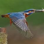 """Male Kingfisher"", Paul Matthews (VHC)"