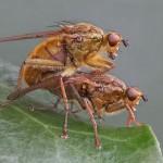 """""""Dungflies Mating"""", Paul Matthews (Best Natural History)"""