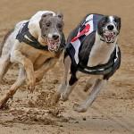 """""""Greyhounds Racing"""", Paul Matthews (VHC)"""