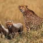 """""""Cheetah and cubs"""", Rob Hockney (C)"""