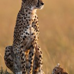 """""""Cheetah with one cub"""", Rob Hockney (Best Natural History + Best"""