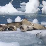 """""""Seals on Jokulsarlon Glacial  Lake"""", Mike Lown (HC)"""