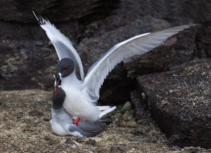 Swallow-tailed Gulls mating