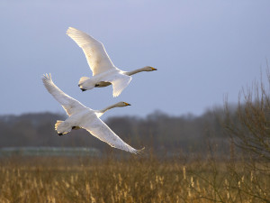 NH-Hooper Swans