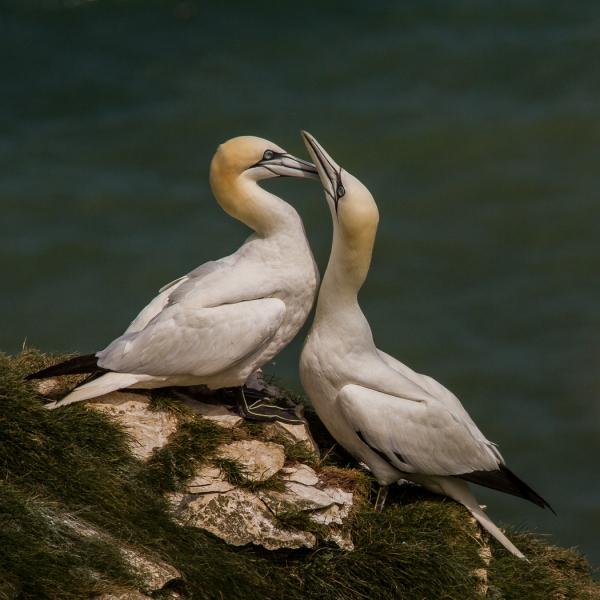 Gannets bonding