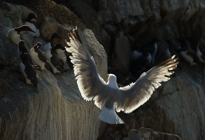 Gull invading Guillemots_Graham Johnston