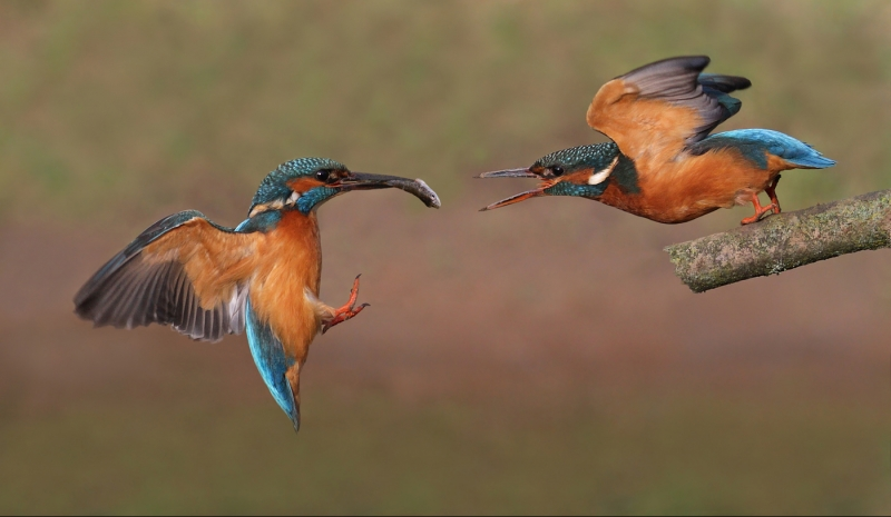 Kingfishers courtship feeding-1_Paul Matthews