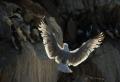 Gull invading Guillemots_Graham Johnston