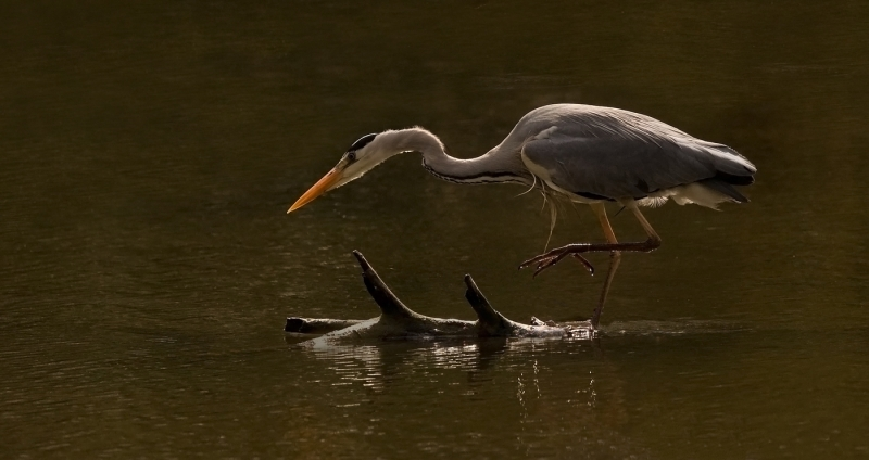 Adult_Grey_Heron_Fishing